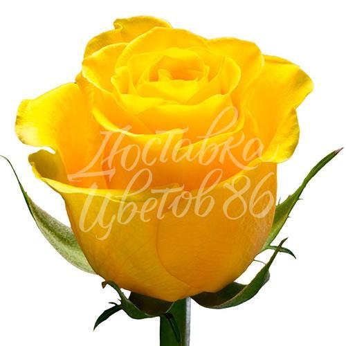 """Роза сорта """"brighton"""", 80 см"""