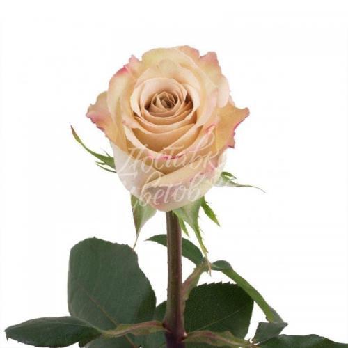 """Роза сарта """"Quick sand"""", 50 см"""