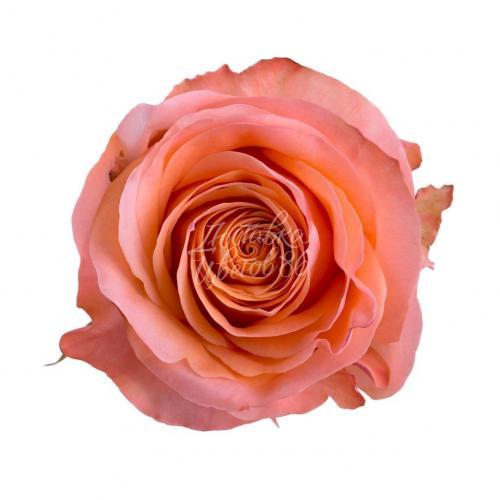 """Роза сорта """"Coral reef"""", 70см"""