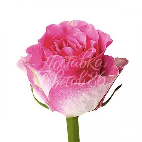 "Роза сорта ""Malibu"""