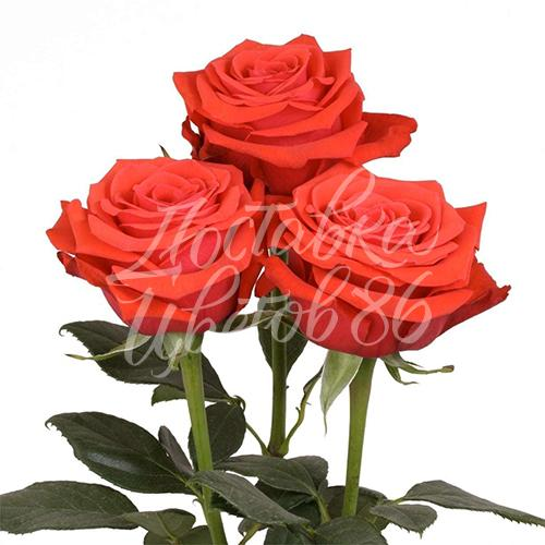 "Роза сорта ""Nina"", 70 см"