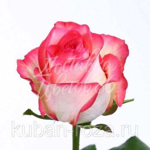 "Роза сорта ""Джумилия"", 60 см"