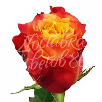 """Роза сорта """"Atomic"""", Эквадор, 80 см"""