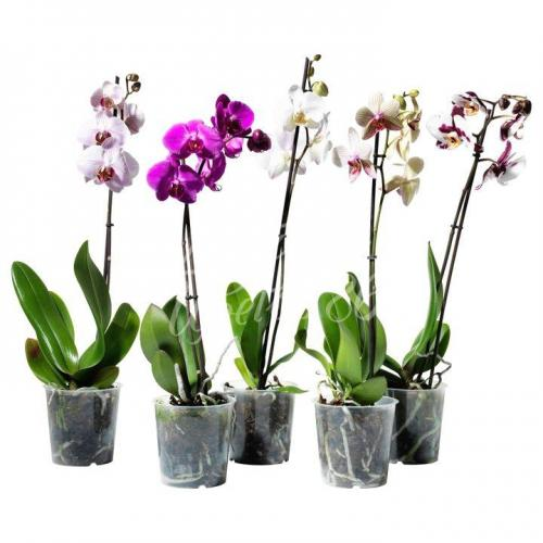 Орхидея 1 таковая