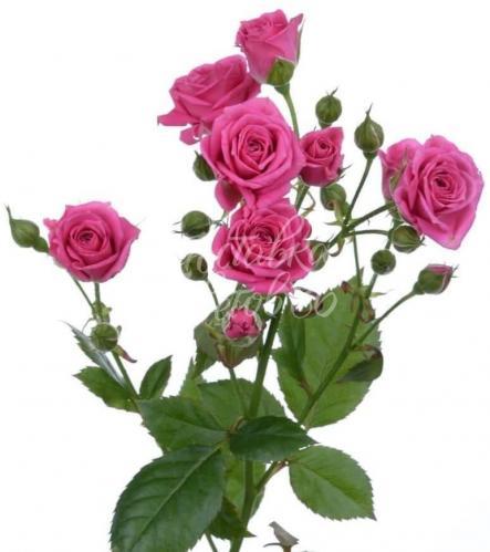 Кустовая роза 60см