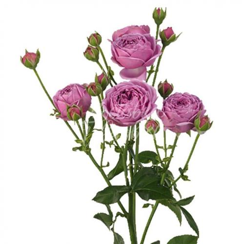 Пионовидная роза Баблс