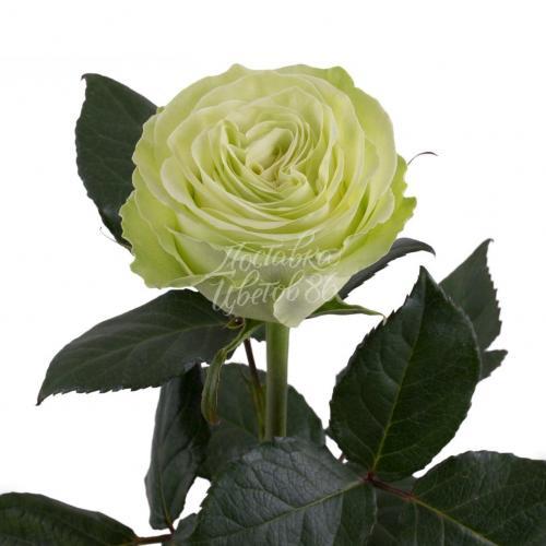 Роза Wasabi, 80 см