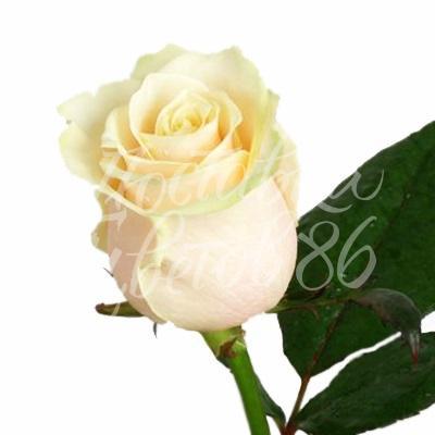 Роза Vendela, 60 см